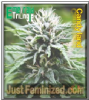Emerald Triangle Candyland 5 Female Seeds